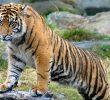 Reasons Behind the Sumatran Tiger's Population Decline