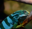 Iguana and their Change of Color: When, Why, and is it Cool?