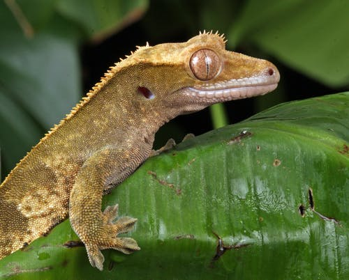 Crested Gecko And 8 Facts You May Never Heard