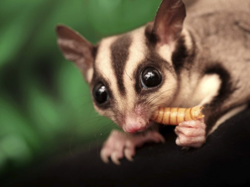 Is it Safe to Feed Sugar Gliders with Raisins?