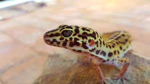 11 Snazzy Facts Of Leopard Geckos: Gather Up!