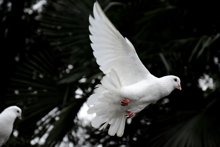 Releasing Doves For Ceremonies: Where They Go Afterwards, And Why?