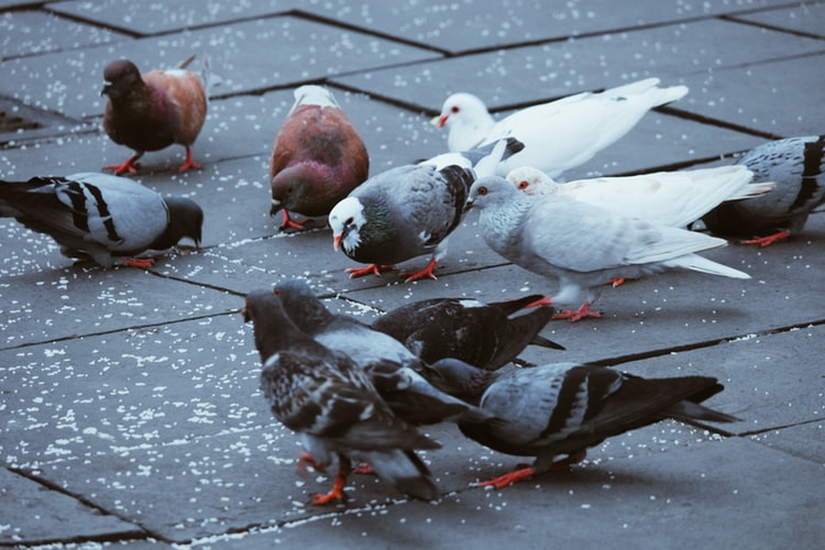 What Are The Similarities And Differences Of Doves And Pigeons?