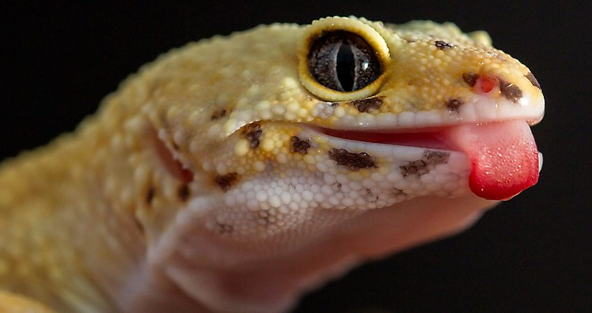 3 Ultimate Diet to keep Geckos Healthy
