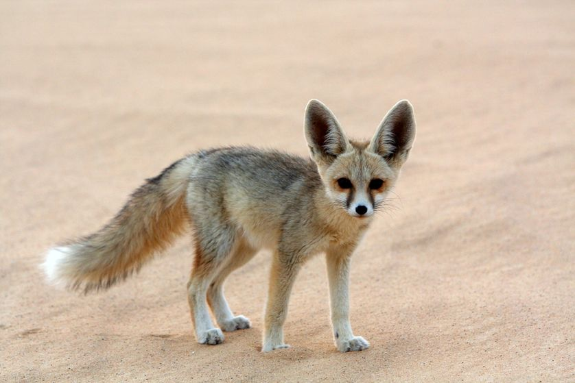 4 Spesific Kind of Desert Animal you must know