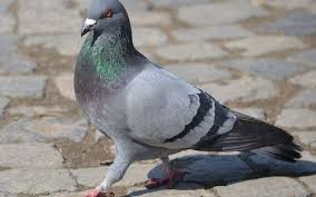 Caring Homing Pigeons: A How-To Information