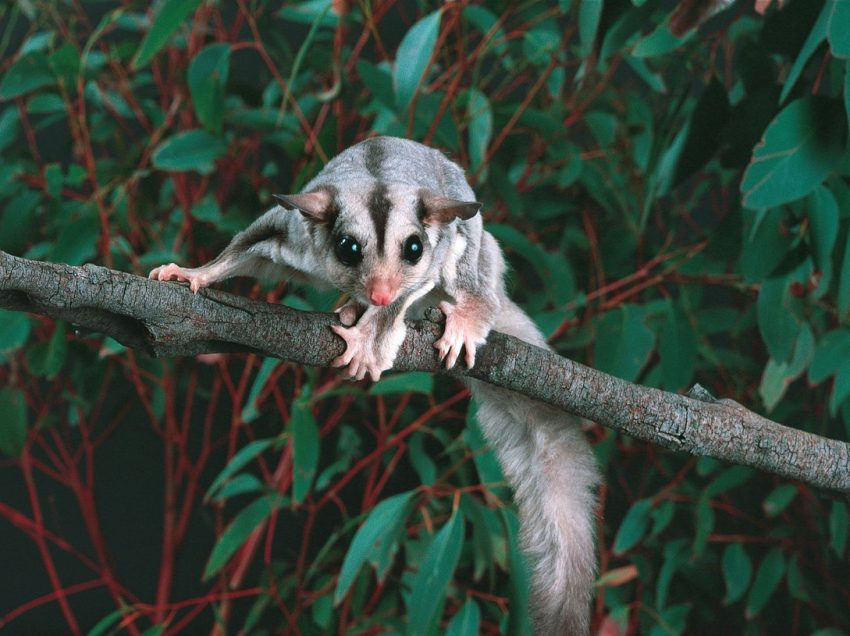 Explanation of 3 Noises Made by Sugar Gliders