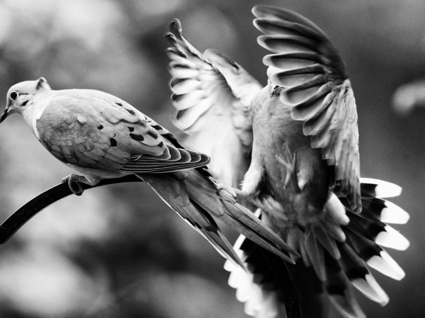 5 Reasons to be Sure that Doves make Good Pets