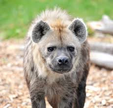 8 Interesting Facts about Hyena