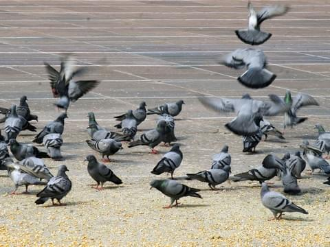 Ever Wondering Why Pigeons Fly In Circles? Here is The Answers