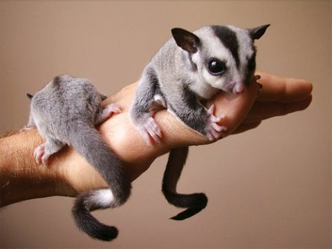 4 Behaviors of Sugar Glider you should Familiar With