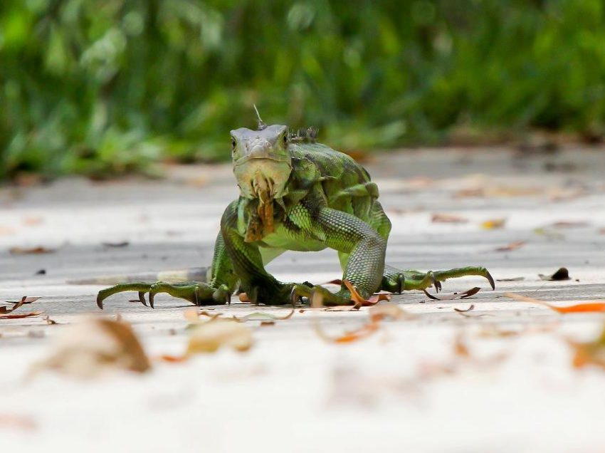Iguana Invasion in Unlikely Places, Why are They there?