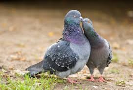 What Are The Habits Of Pigeons Mating Life? You Will Be Surprised
