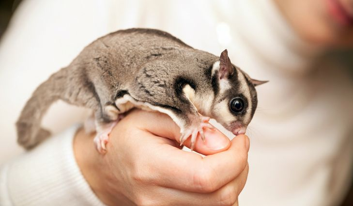 Do Sugar Gliders loves to Bite You? Here's how to Stop It