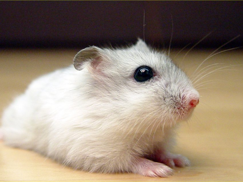Do Russian Hamsters Should Live in The Wild Nature Before It Is Caring?