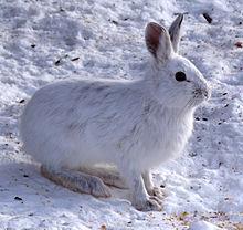What Are the Differences Between Arctic Jackrabbit and Jackrabbit Snowshoe?