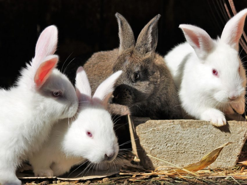 Does the Rabbit Care Depend on the Rabbit Color Itself?