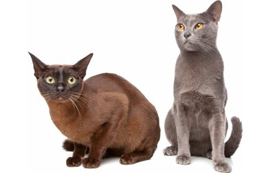Burmese Cat Vs. Siames Cat; Which Is The Best Cat To Treat?
