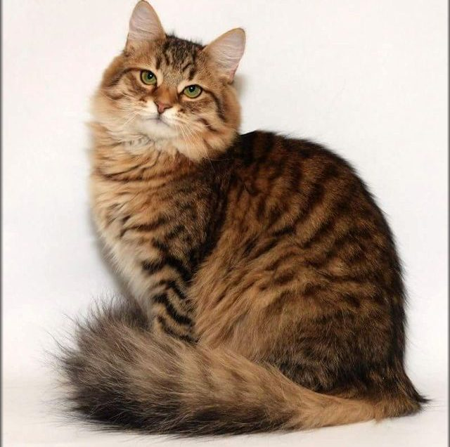Are Siberian and Tabby Cat Get the Same Treatment?