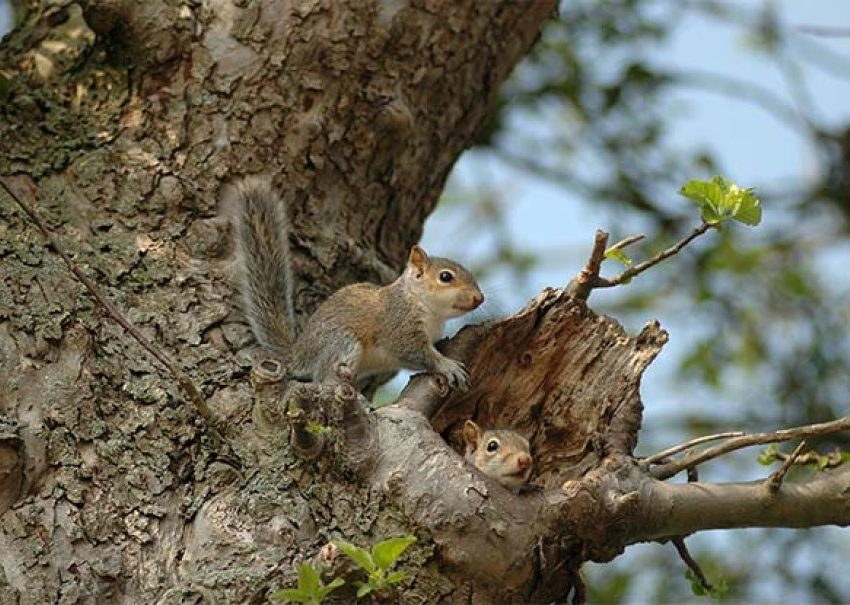 Is Squirrel Nest become Important thing for Their Survival