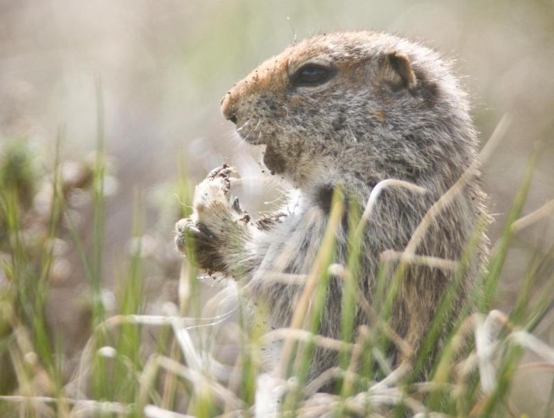 3 Unique things about Ground Squirrel Feeding Habit