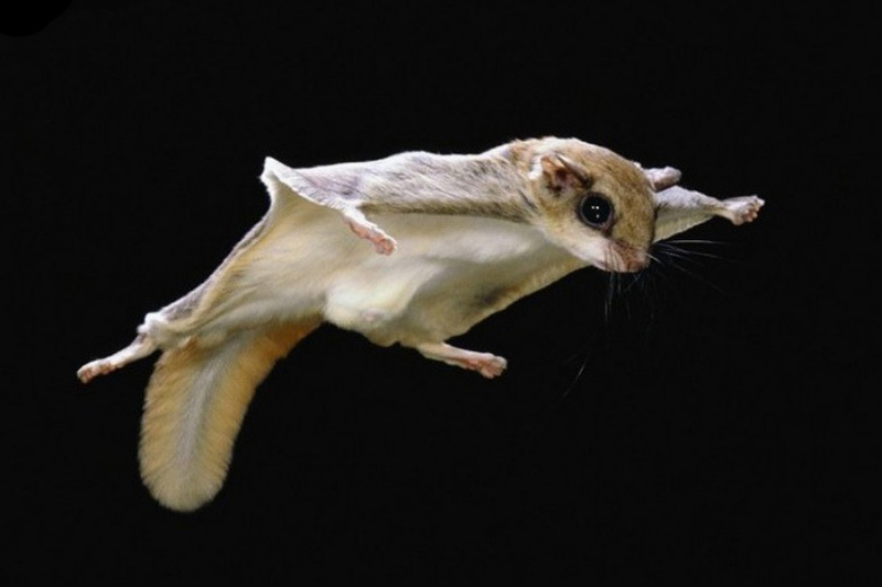 3 Myths about The Flying Squirrel that You Must Know