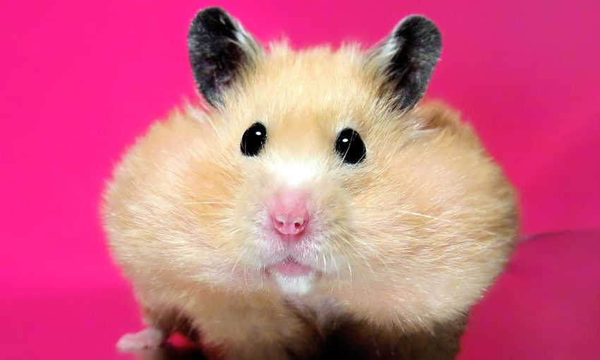 7 Kinds of Cute and Unique Hamster in The World