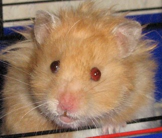 3 Things that You Should Know to Care the Teddyhamster