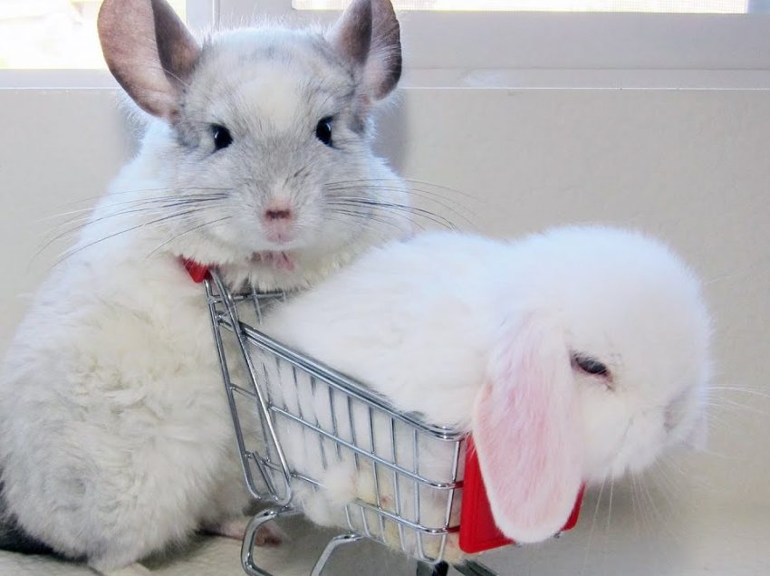 Which One is Easier to Care, Chinchilla or Rabbit?