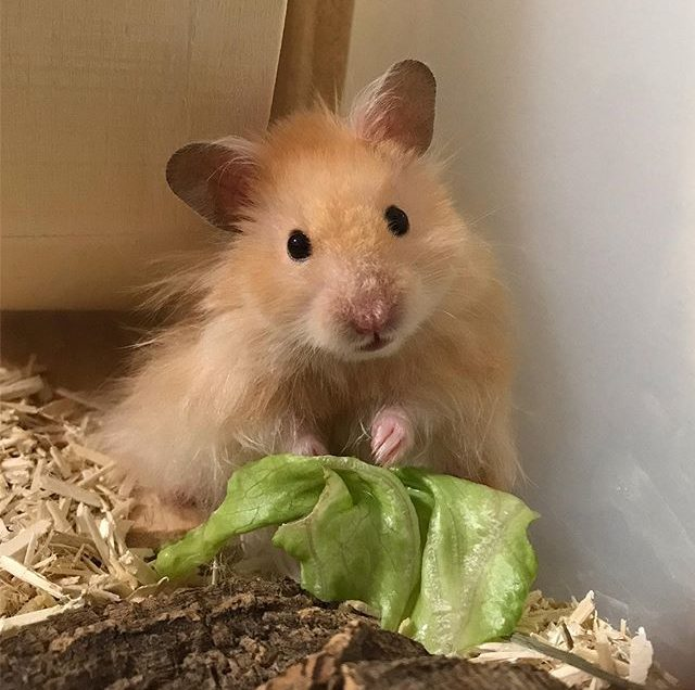 How Does Teddyhamster Look Like?