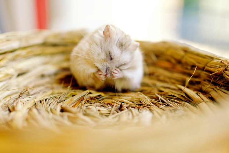 6 Ways to Prevent Hamsters From Contracting Salmonellosis