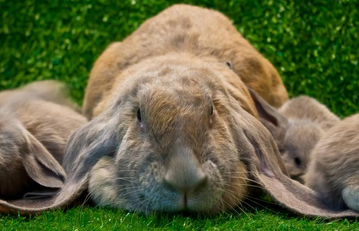 All The Things that You should Know about Lop Rabbit