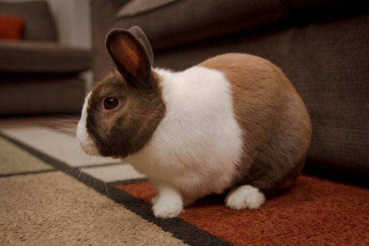 Netherland Dwarf vs. Dutch Rabbit; What Makes Them Different?