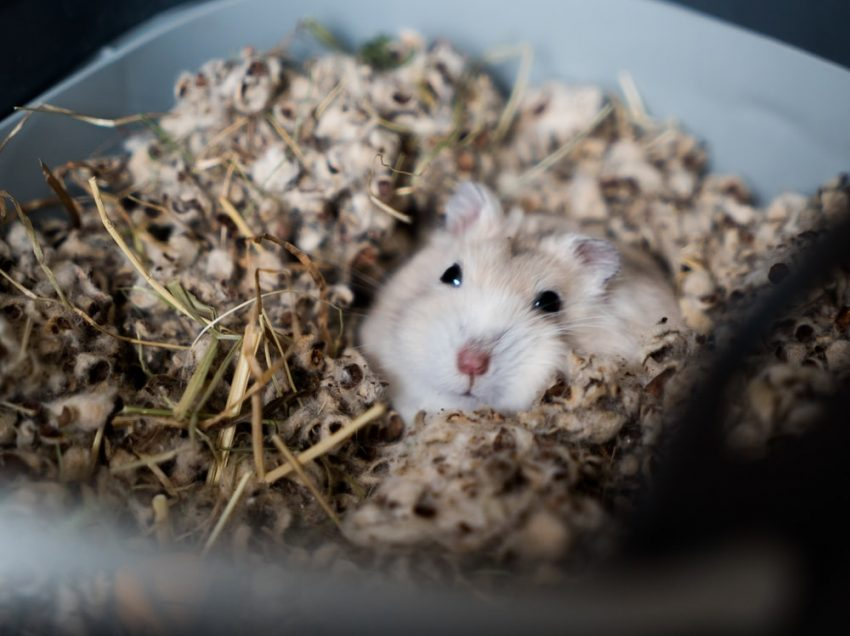 Fat Hamster; Is It Good or Danger for Hamster's Health?