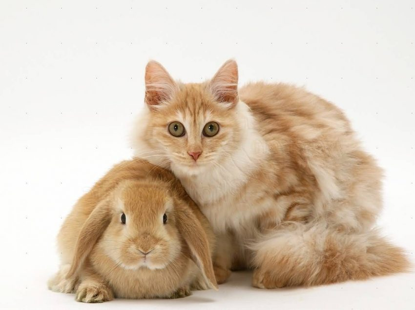 Does Angora Rabbit has The Same Treatment with Angora Cat?