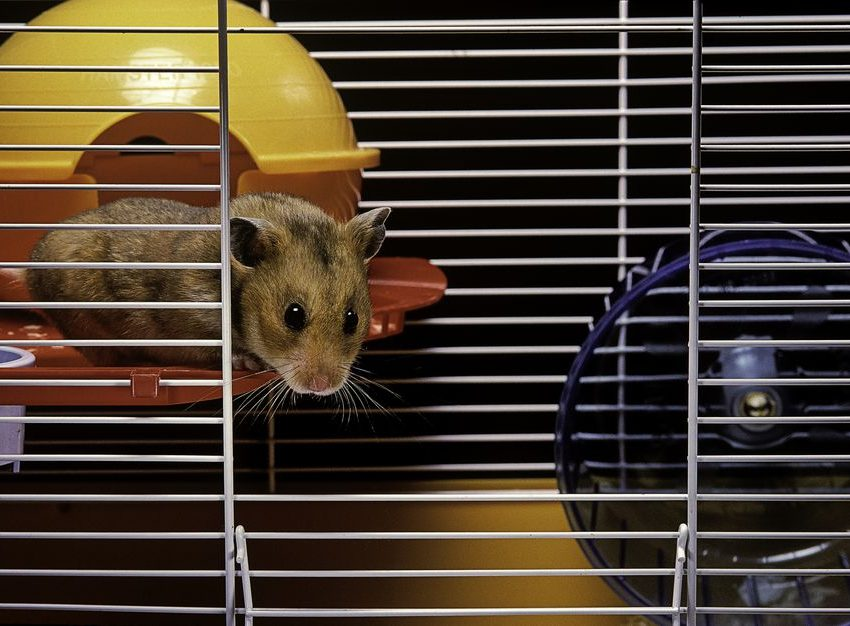 You must Considered these Things when You Clean the Hamster Cage