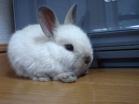 How to Get Rid of Fleas on Rabbits?