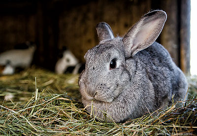 How to Know the Enchepalitis Symptoms on Rabbits
