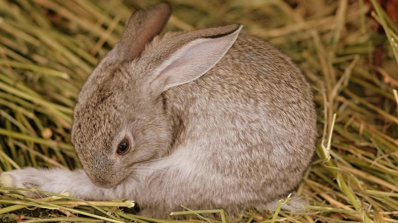The Types of Bacterical Infection on Rabbit