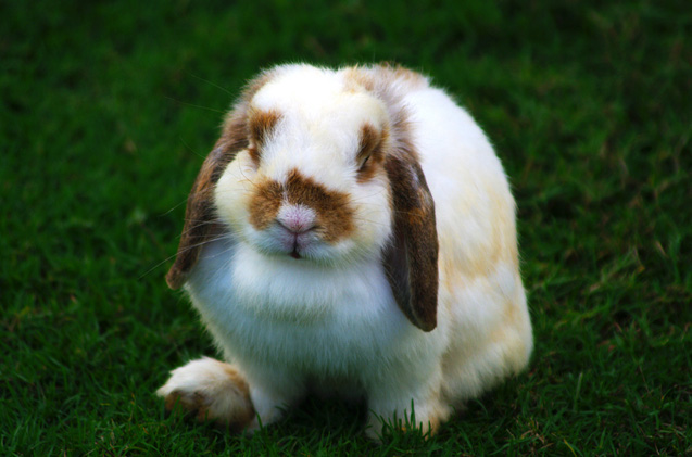 Does The Holland Lop Rabbit is A Mellow Rabbit? See The Fact Here