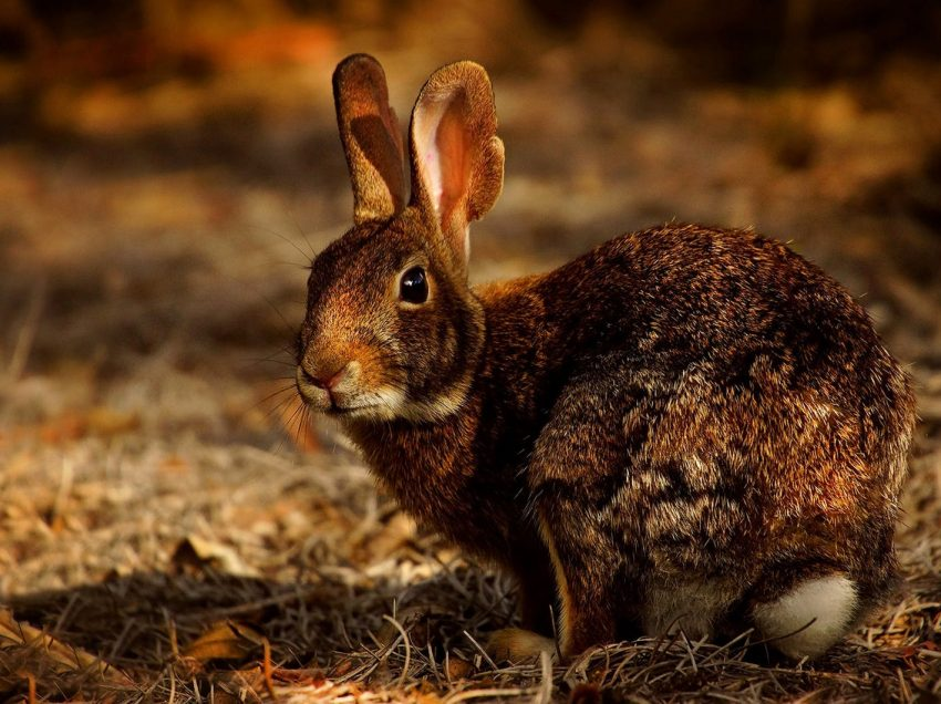 2 Kinds of Rabbits which can Live in The Dry Area