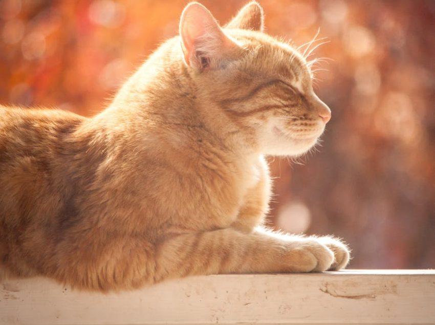 Heart Disease in Cats: Is it Possible?