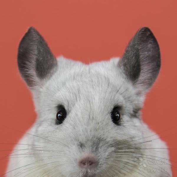 How to Overcome the Heat Stress in Chinchilla?