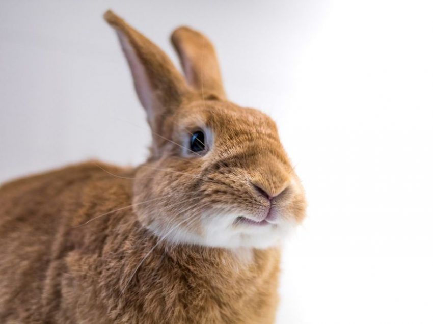 Facial Nerve Paresis on Rabbits; Does It Will be the Dead Cause?