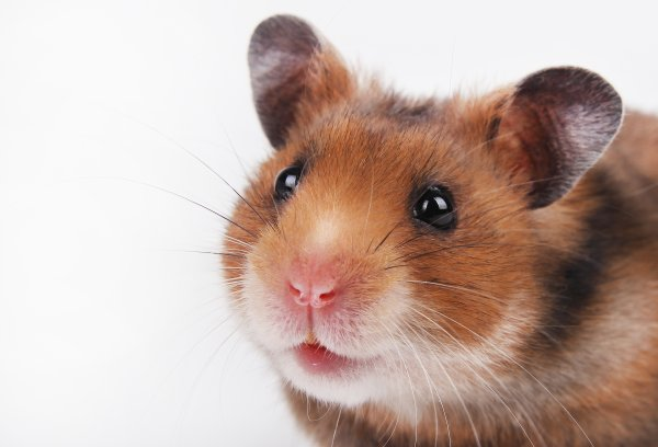 Sendai Virus; How Can Be Infected to Hamsters?