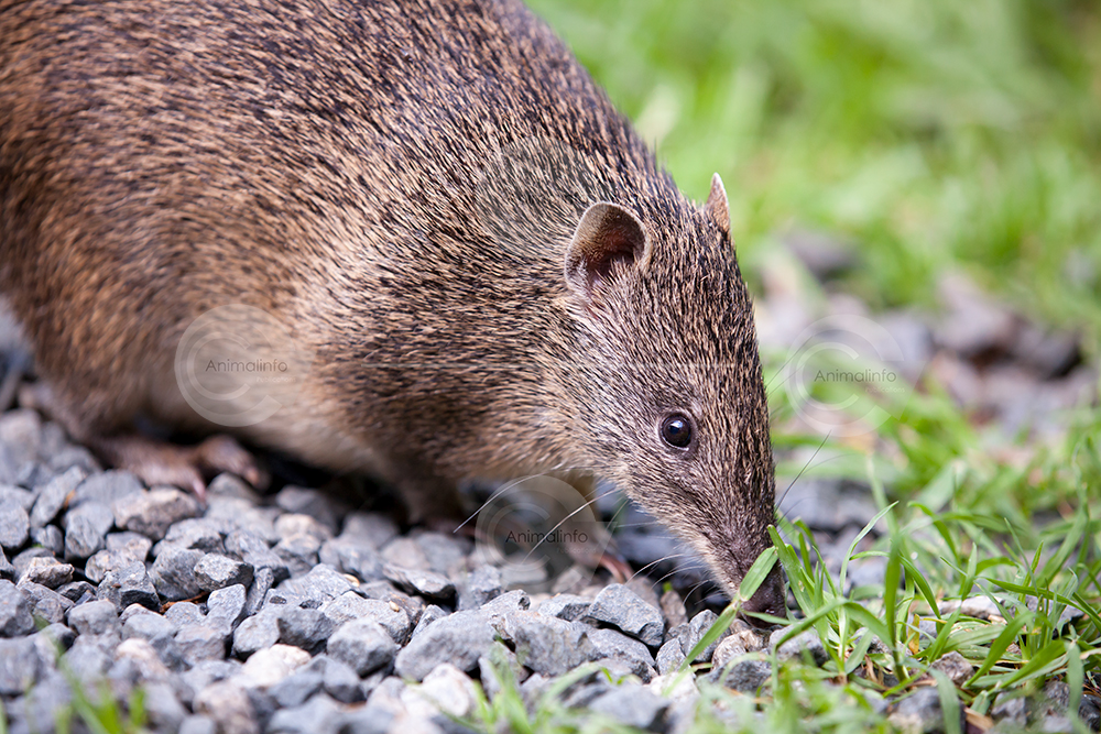 Southern Brown Bandicoot close-up