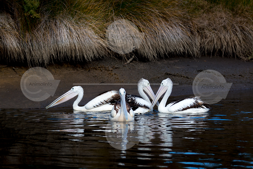 Four Pelicans swimming on dark water