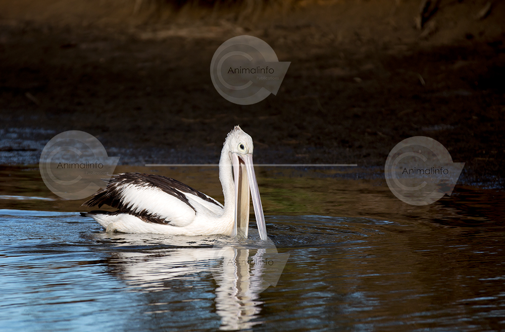 Pelican swimming on dark water