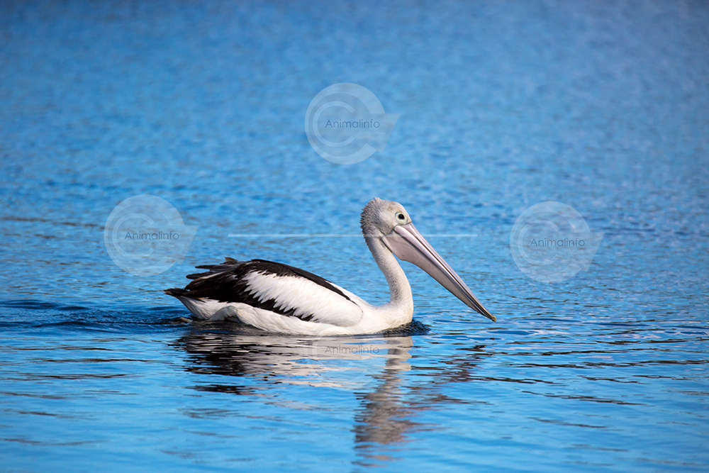 Pelican swimming on blue water