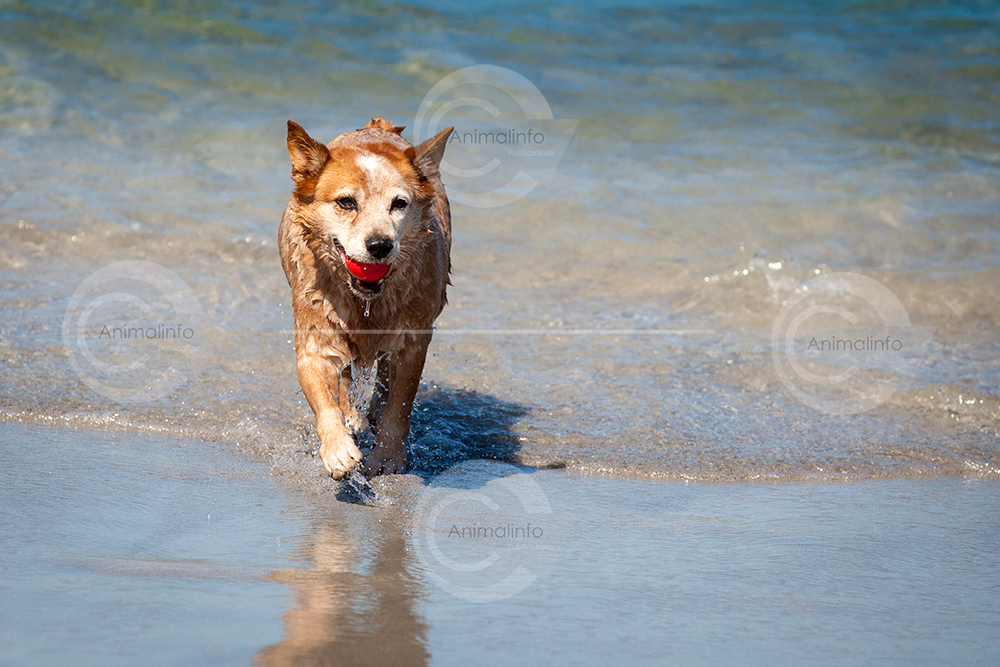 Australian Cattle Dog at the beach